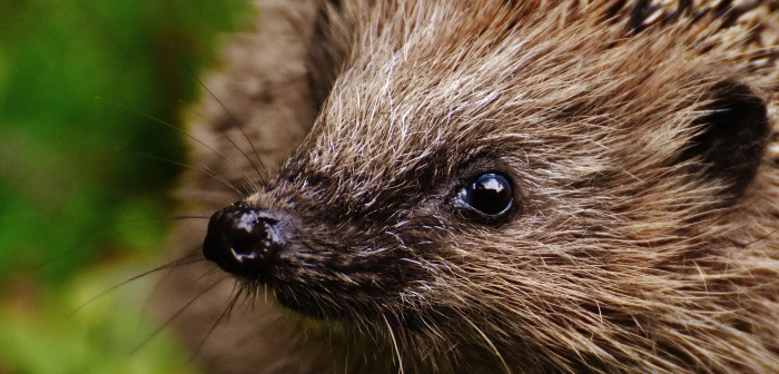 What is happening to ourhedgehogs?