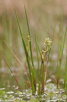220px-Scheuchzeria_palustris_-_flowering