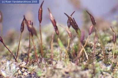 Extinct in Ireland September 12th – Spiral Chalk Moss (Pterygoneurumlamellatum)