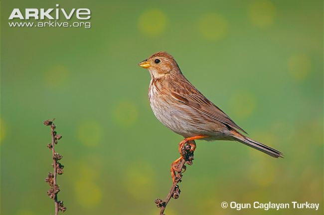 Corn-bunting-perched