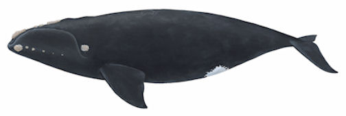 northers right whale